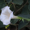 Sacred thorn-apple, Jimsonweed, Thorn apple, Datura, Angel Trumpet, Sacred datura