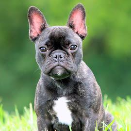 Bonjour! by Docterv2 Miller - Animals - Dogs Portraits ( frenchie, dog portrait, french bulldog, dog, bat ears )