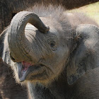 Asian elephant (female calf)
