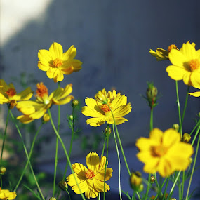 Bunga Depan Rumah by Rully Kustiwa - Flowers Flower Gardens ( canon ef 50mm/1.8, yellow, flower, canon eos 500d, fixed lens,  )