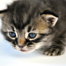 Kitten by Maja  Marjanovic - Animals - Cats Kittens ( cats, kitten, muzzle, little, cute )
