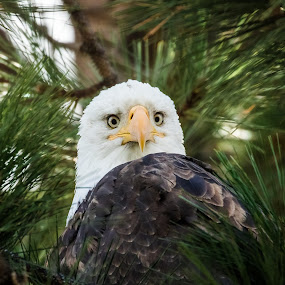 Eagle Eyes On The Lens by Billy Brooks - Animals Birds ( headshot, pine tree, bald eagle, portrait, eyes )