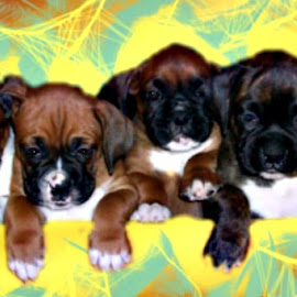 Boxer Puppies by Cindy Brown - Animals - Dogs Puppies (  )