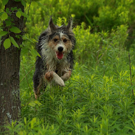 by Jacqui Sjonger - Animals - Dogs Running ( outdoor photography, outdoors, dogs running, dog portrait, dog playing, dog )