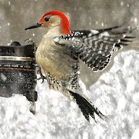 ******woodpecker fly on cuo.jpg
