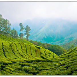 Tea Estate by Shameer Kamarudheen - Landscapes Prairies, Meadows & Fields ( greenery, meadow, tea estate )