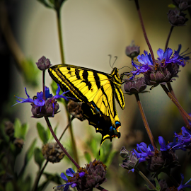 Swallowtail on Blue Flower-3 by Ken Wade - Animals Insects & Spiders ( butterfly, blue, yellow, swallowtail )