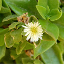 Yellow Heartleaf Iceplant
