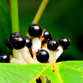 Wild berries by Yusop Sulaiman - Nature Up Close Other Natural Objects