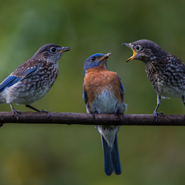 Bluebird babies by Robert Strickland - Animals Birds ( bright, nice, passer, feather, birds, predator, time, tree, nature, fulvus, raptor, falconry, griffon, black, flower, isolated, wild, element, wing, singing, parent, prey, hawk, sitting, horizontal, outdoors, owl, endangered, branch, perching, small, graphic, tropical, retro, wildlife, cute, vultur, drawing, character, berry, predatory, bilberry, carrion, beautifully, gyps, vulture, vintage, wingspan, beautiful, plumage, up, sparrow, haliaeetus, bird, flight, hunter, pattern, pet, background, beak, falcon, cut, standing, garden, design, studio, cartoon, wise, illustration, wisdom, shot, robin, ornithology, owlet, wings, fruit, eagle, symbol, white, forest, winter, environment, sweet, fly, food, adorable, songbird, floral, scavenger, beauty, photography, flying, carnivore, condor, vector, animal, icon, avian, vertebrate, photo, blue, color, brown, house sparrow )