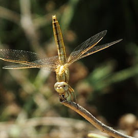 by Oleg T. - Novices Only Macro ( dragon fly, dragonfly, insects, insect )