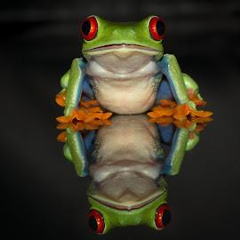 Reflection by Kutub Macro-man - Animals Amphibians ( macro, nature, red eye tree frog, amphibians, close-up, animal )