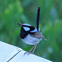 Superb Fairy-Wren - male