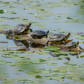 by Eva Krejci - Animals Other ( lace, family, turtle, log, water lilies )