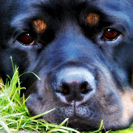 Rutger - by Carol Langsford - Animals - Dogs Portraits ( rutger, rescued, dog, rottweiler )