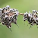 Nomia Bees