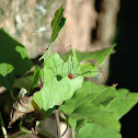 Daddy Long Legs - Harvestmen