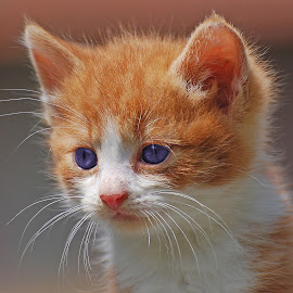 by Ivan Marjanovic - Animals - Cats Kittens