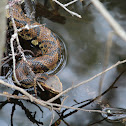 Cottonmouth