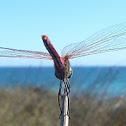 libélula flecha roja