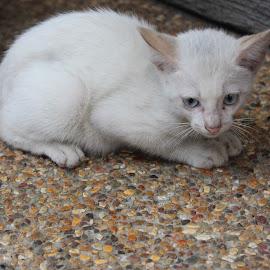 Stray kitten in Putrajaya by Dura Zaman - Animals - Cats Kittens ( cat, kitten, putrajaya, stray kitten, malaysia,  )