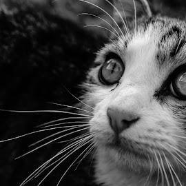 by Albert Elgert - Animals - Cats Portraits (  )