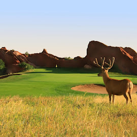 Surveying The Green by Richard Saxon - Landscapes Prairies, Meadows & Fields ( morning scene, greens, golf course, elk, nature photography )