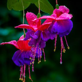 Fuschia by Dave Martin - Flowers Flower Arangements ( red, fuschia, purple, fuchsia, flower arrangements, 3 flowers, pink, flowers,  )