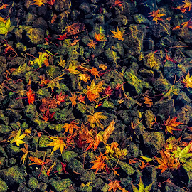 in the stream by Vibeke Friis - Nature Up Close Leaves & Grasses ( fallen, autumn leaves in water,  )