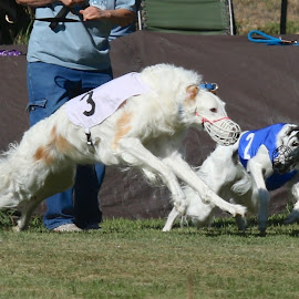 Pay attention by Karin Bennett - Animals - Dogs Running ( dogs', racing., running, borzoi )