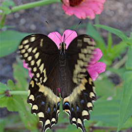 SWALLOWTAIL by Raymond Earl Eckert - Animals Other ( butterfly; flower; garden; sunlight; plant; colors,  )