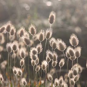 Sunlit seedheads by Kirsten Gamby - Nature Up Close Leaves & Grasses ( bunny's tail, penisetum, wild grass, sunlit seedheads, hare's tail,  )
