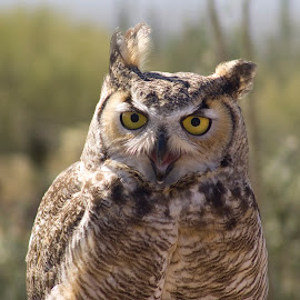 Windblown Owl by Larry Gambon - Animals Birds ( bird, owl, raptor, great horned, eyes, animal,  )