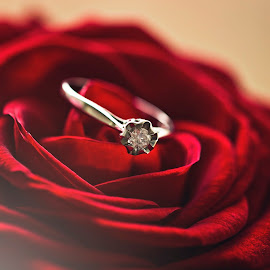 Ring on Red Rose by Daniel Garner - Wedding Details ( rose, ring, wedding, red rose, ring on rose,  )