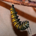 Monarch, pupating