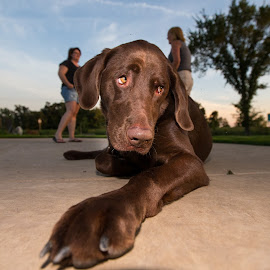 Sad Eyes by Peter Marzano - Animals - Dogs Playing