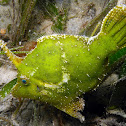 Seagrass Filefish