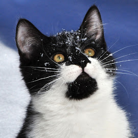 Winter Kitten by Holly Miller-Pollack - Animals - Cats Kittens ( kitten, winter, beautiful, snow, cute,  )