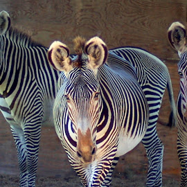 We Three 2 by Philip Molyneux - Animals Other Mammals ( wild, equine, zoo, nature, zebra,  )