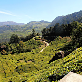 Tea Garden Road by Tamsin Carlisle - Landscapes Mountains & Hills ( curve, hills, turn, green, bend, agriculture, kerala, road, tea, plantation, country, mountains, bushes, twist, trees, india, meander, garden,  )