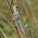 Pine tree Spur-throated Grasshopper