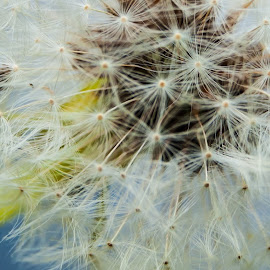 Fluff by Suzanne Stonehouse Brummel - Nature Up Close Other Natural Objects ( macro, nature, dandelion, fluff, seeds, weeds, flower )