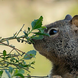 Cute Squirrel by Barbara Brock - Animals Other Mammals ( head shot, chipmunk, squirrel, small animals )