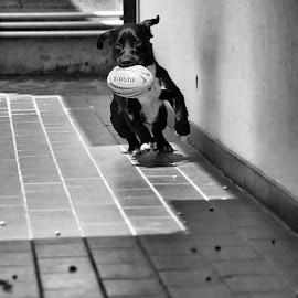 rush rush by An Gela - Animals - Dogs Running ( ball, black and white, puppy, dog, running, animal )