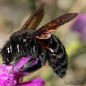 Valley Carpenter Bee (female)
