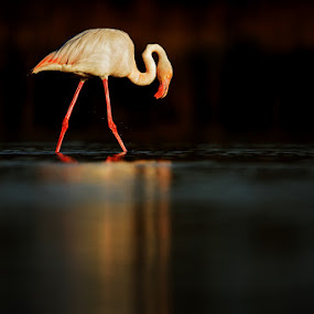 Great flamingo by Jiří Míchal - Animals Birds ( bird, camargue, flamingo, france )