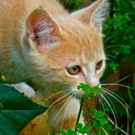 by Laura Payne - Animals - Cats Kittens ( plant, cat, kitten, ginger, grass, watch, stare, white, play, clover, mammal, shamrock, red, foliage, stalk, prowl, tabby, garden, profile, animal )