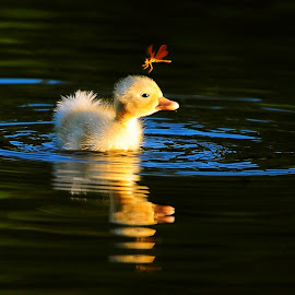 First Week on the Water by Daniel Lund - Animals Birds ( babies, ducklings, dragonflys, reflections, waterbirds )