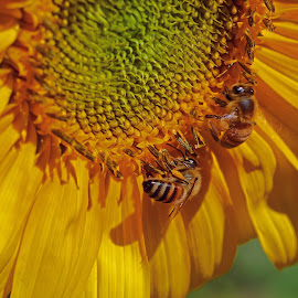 Bees on Sunflower by Jeannine Jones - Nature Up Close Other Natural Objects