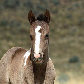 Young wild mustang Colt Wild West. by Carolyn Edson - Animals Horses ( mustang, wild horse baby, equine, mustang colt, baby horse )